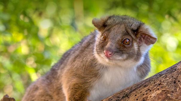 animals_hero_ringtail_possum_0-5d7bb016dc330.jpg