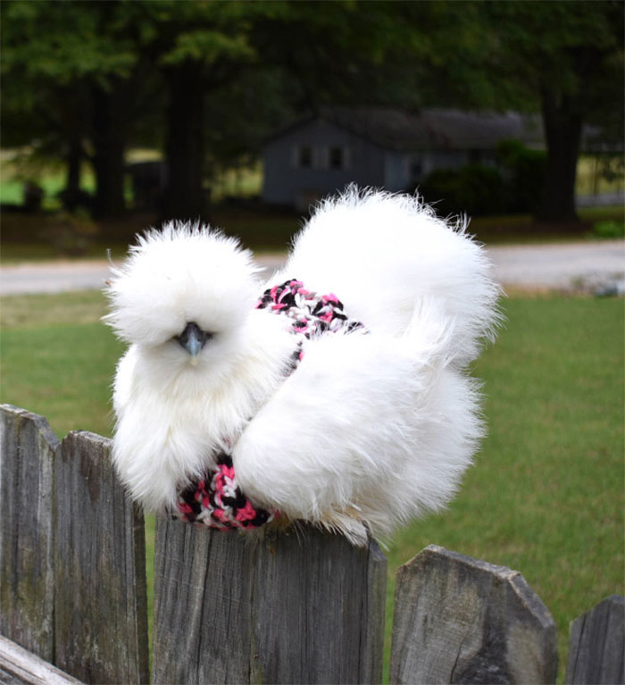 Chicken-Fashion-Fall-Collection