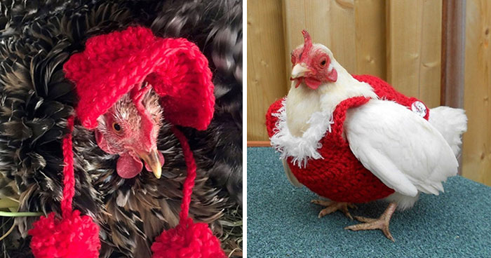 37 Chickens Ready For Fall With Their Little Knitted Outfits