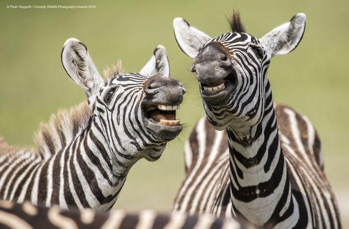Cebras de risas