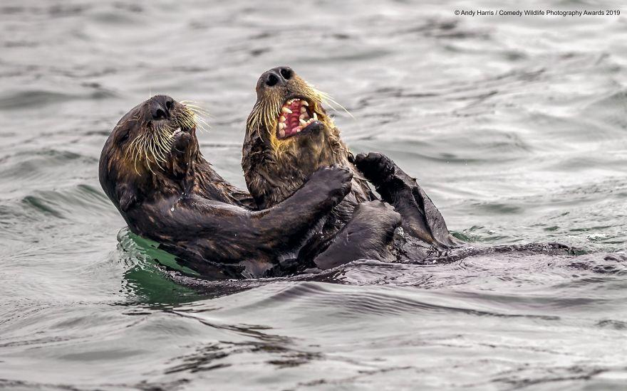 Sea Otter Tickle Fight