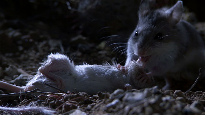 Meet The Most Hardcore Mice You've Ever Seen That Hunt Scorpions And Howl At The Moon