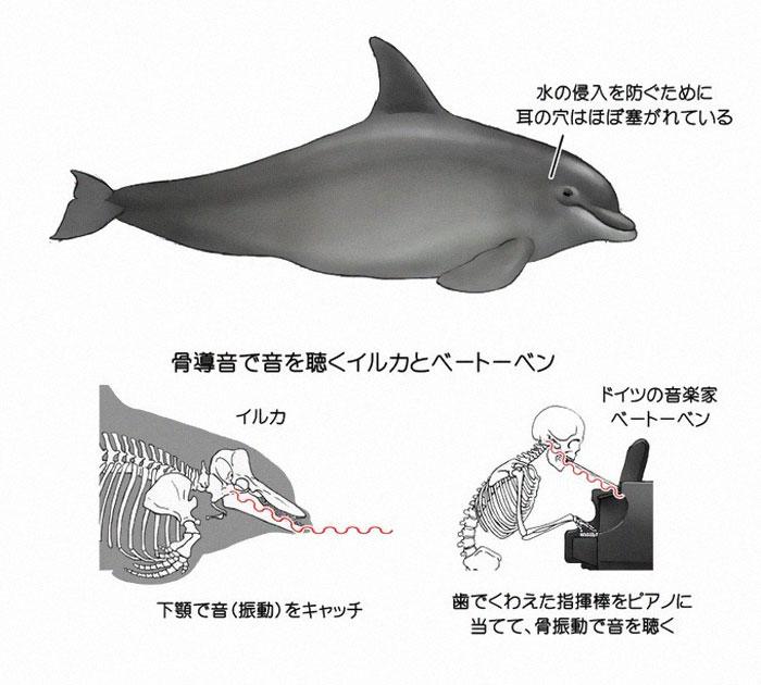 Satoshi-Kawasaki-delfin