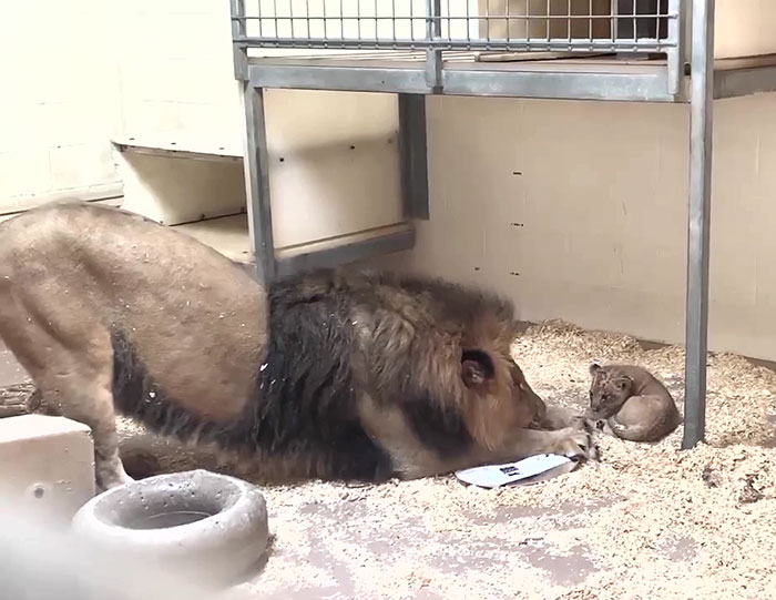 Dad Lion Crouches Down To Meet His Baby Cub For The First