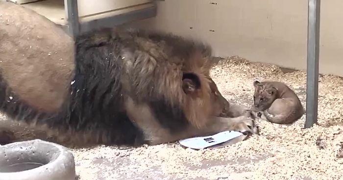 Lions In Zoo | Bored Panda