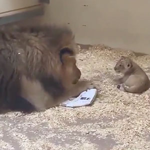 Dad Lion Crouches Down To Meet His Baby Cub For The First Time In This Adorable Video
