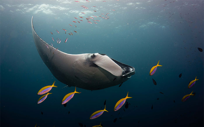 I Spent 2 Hours Scuba Diving In Thailand, Here Are My 21 Best Photos Of Manta Rays