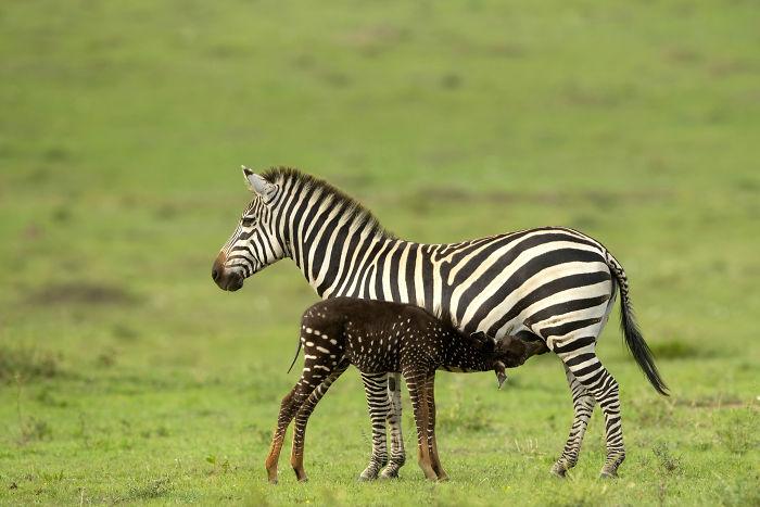 Image result for zebra baby