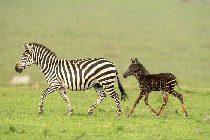 https://static.boredpanda.com/blog/wp-content/uploads/2019/09/newborn-zebra-rare-polka-dots-kenya-3-5d81d32f72cbe__700.jpg