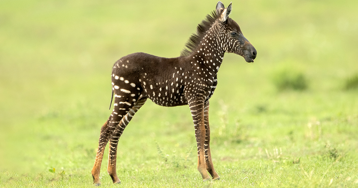 Zebra Foal With Polka-Dots Instead Of Stripes Is Spotted In Kenya