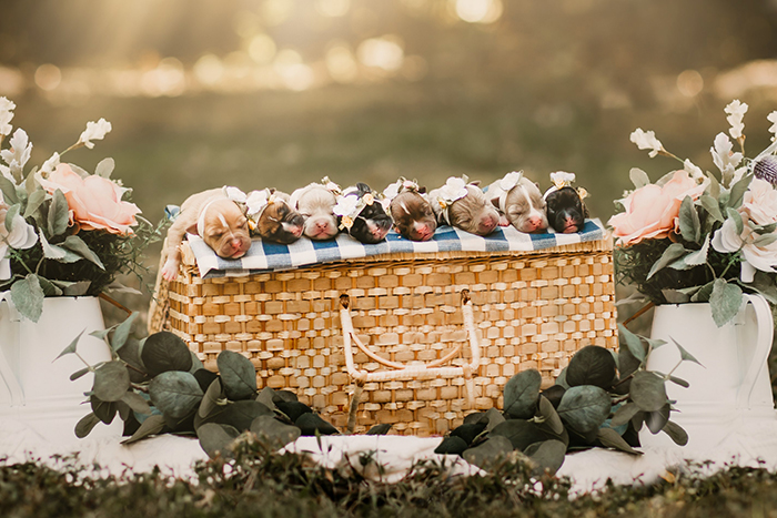 This Pit Bull Gets Her Own Maternity Photoshoot And She ...