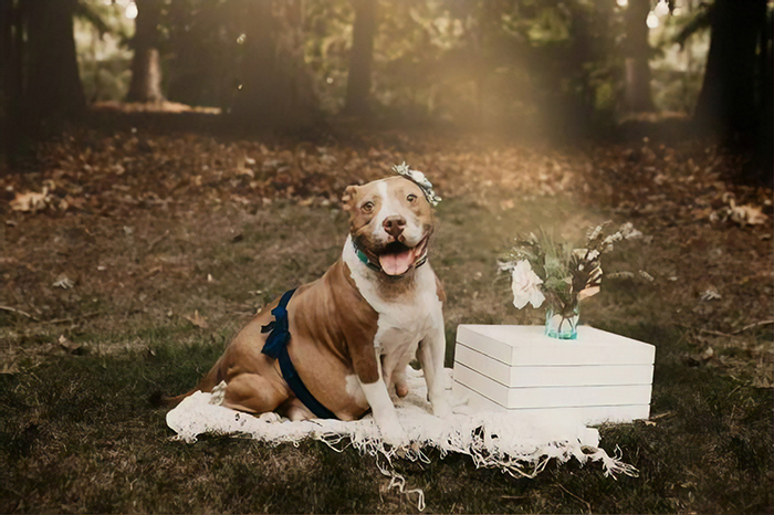 This Pit Bull Gets Her Own Maternity Photoshoot And She Looks Absolutely Glowing