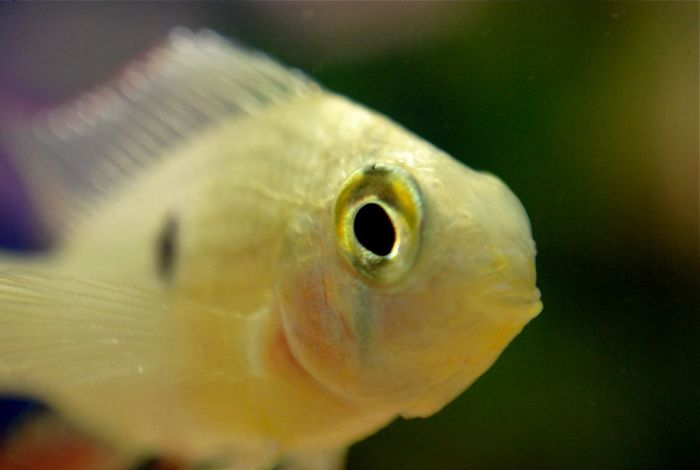 Some Fish Can Recognize Their Owner's Face