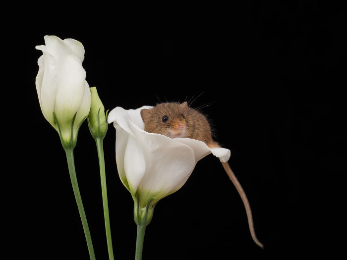 There Are Little Tiny Harvest Mice That Sleep Inside Flowers