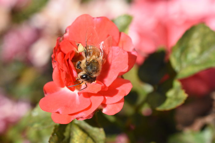 Bees Get Sleepy After Drinking Nectar And Occasionally Take Naps On Flowers