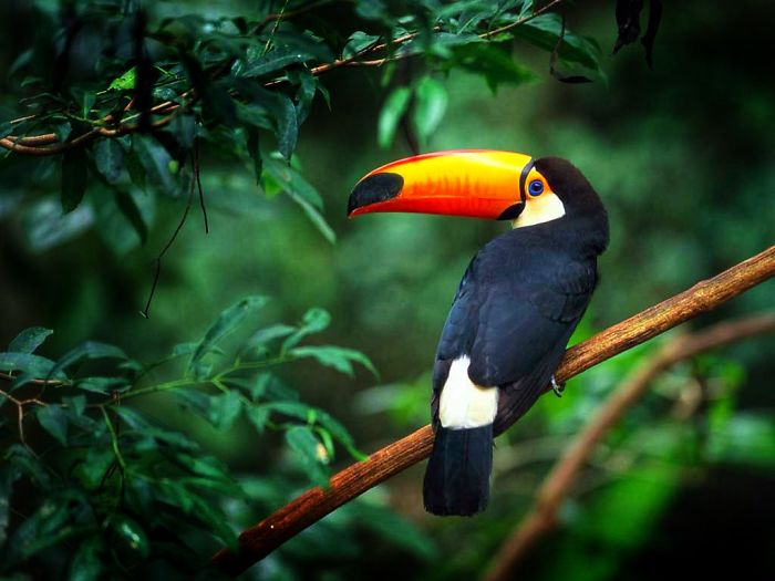 Toucans Curl Into A Little Tiny Ball When They Sleep