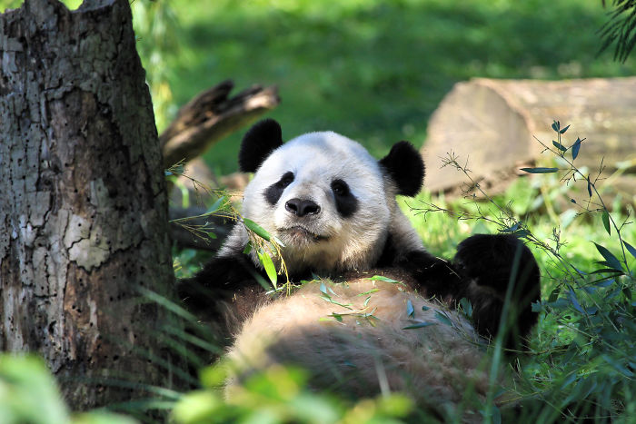 Pandas Are No Longer Considered An Endangered Species