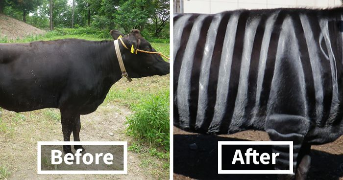 Scientists Are Amazed After Painting Cows In Zebra Stripes