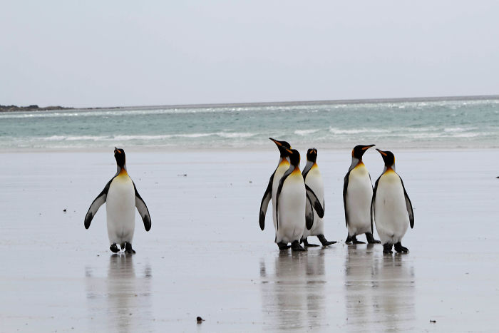 There's An Abandoned Minefield That Has Accidentally Created A Penguin Sanctuary. The Mines Keep Poachers Out, But The Penguins Are Too Small To Set Them Off