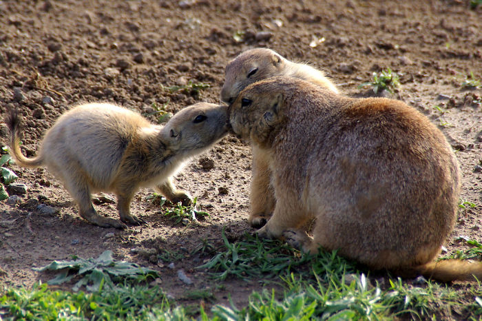 Prairie Dogs Say Hello By Kissing