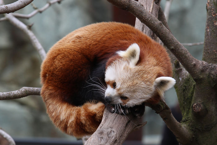 Red Pandas Use Their Fluffy Tails As Blankets To Keep Warm When They Sleep