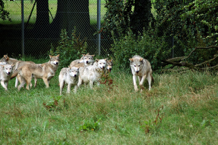 Wolves Have Babysitters. Members Of The Pack Watch Over The Young When The Parents Go Hunting