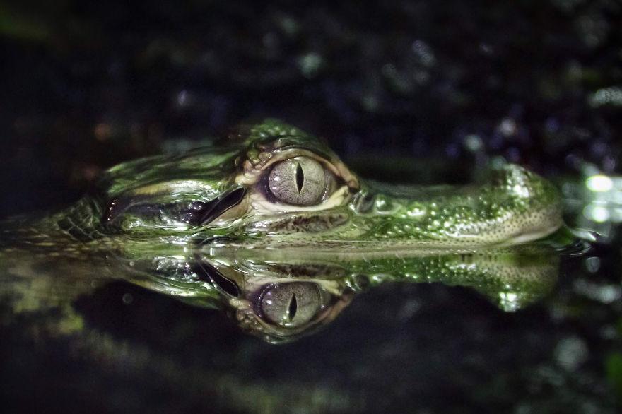 Alligator Reflections, Amanda Castleman, USA