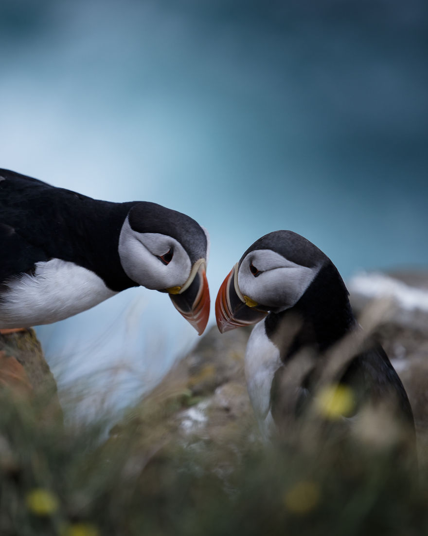 During Summer Thousands Of Puffins Come To Nest In Icelandic Cliffs