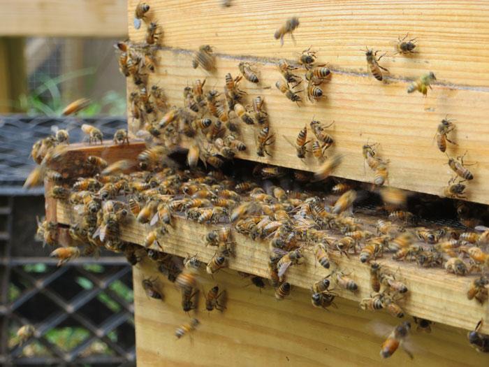 Пчелы официально объявлены