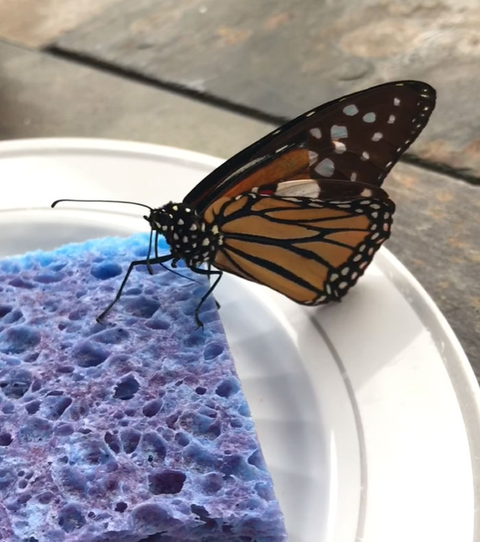 Zoo Asks For Woman's Help In Repairing Butterfly's Wings, She Gives It A Transplant