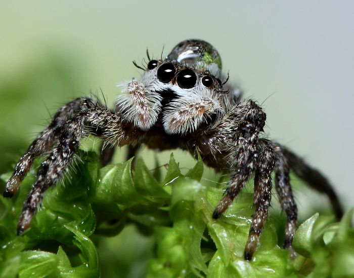 Some Tiny Spiders Wear Water Droplets As Hats