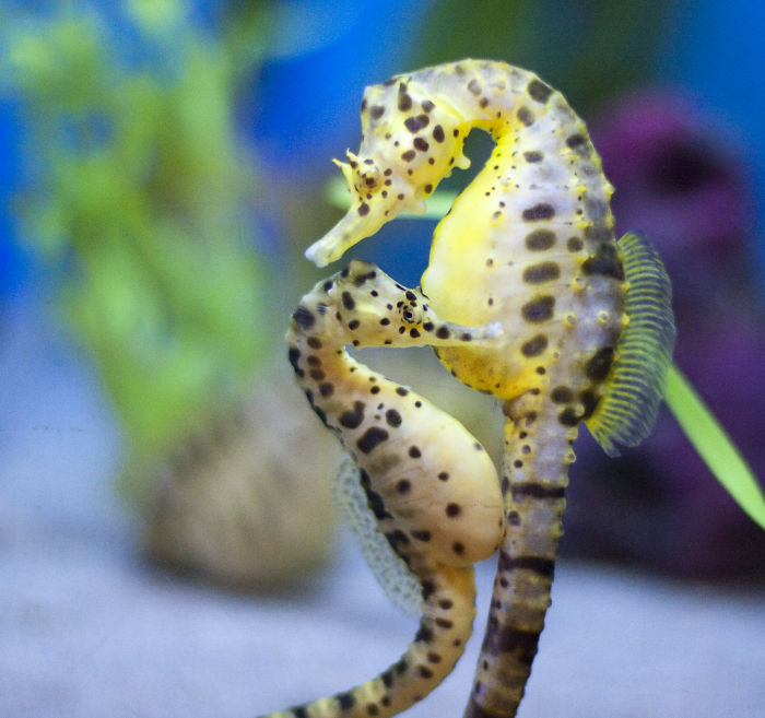 "Sea Horses Get ""Married"""