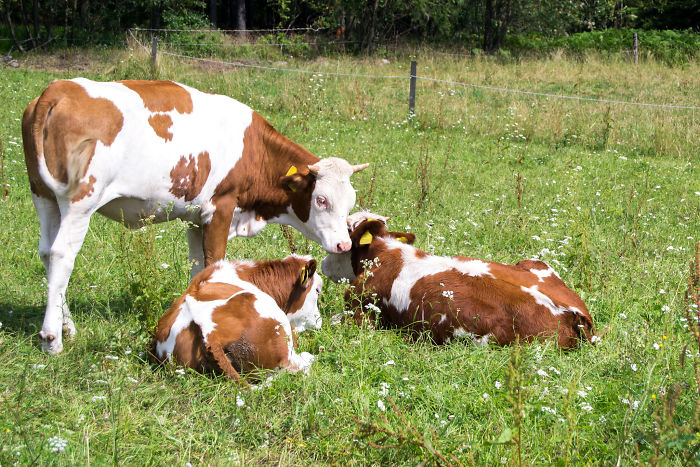 Cows Take Turns In Babysitting Their Young. One Will Stay With The Calves While Other Moms Graze Further Away