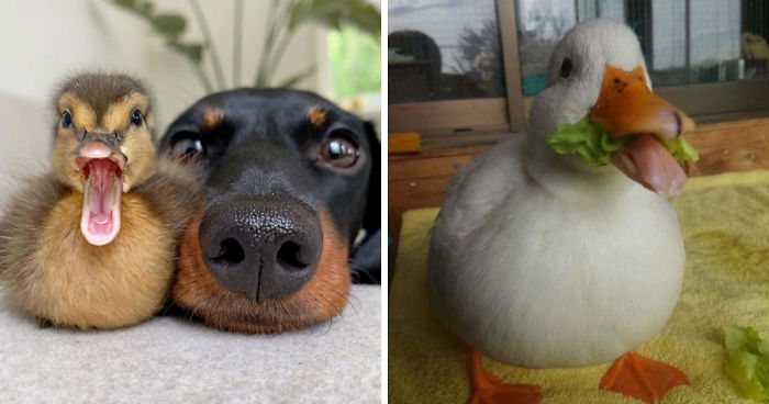 100 Totally Blessed Duck Images To Make You Smile