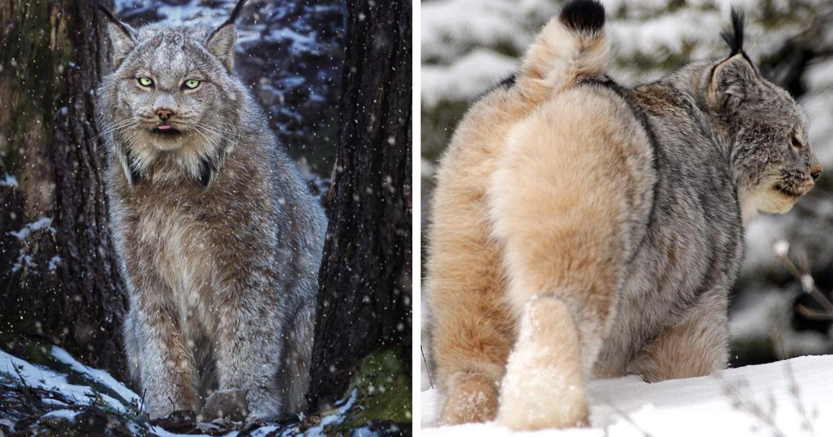 Meet The Canada Lynx Cat That Might Be The Floofiest Grumpiest Kitty Ever