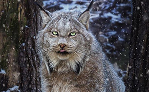 Meet The Canada Lynx Cat With Paws As Big As A Human Hand