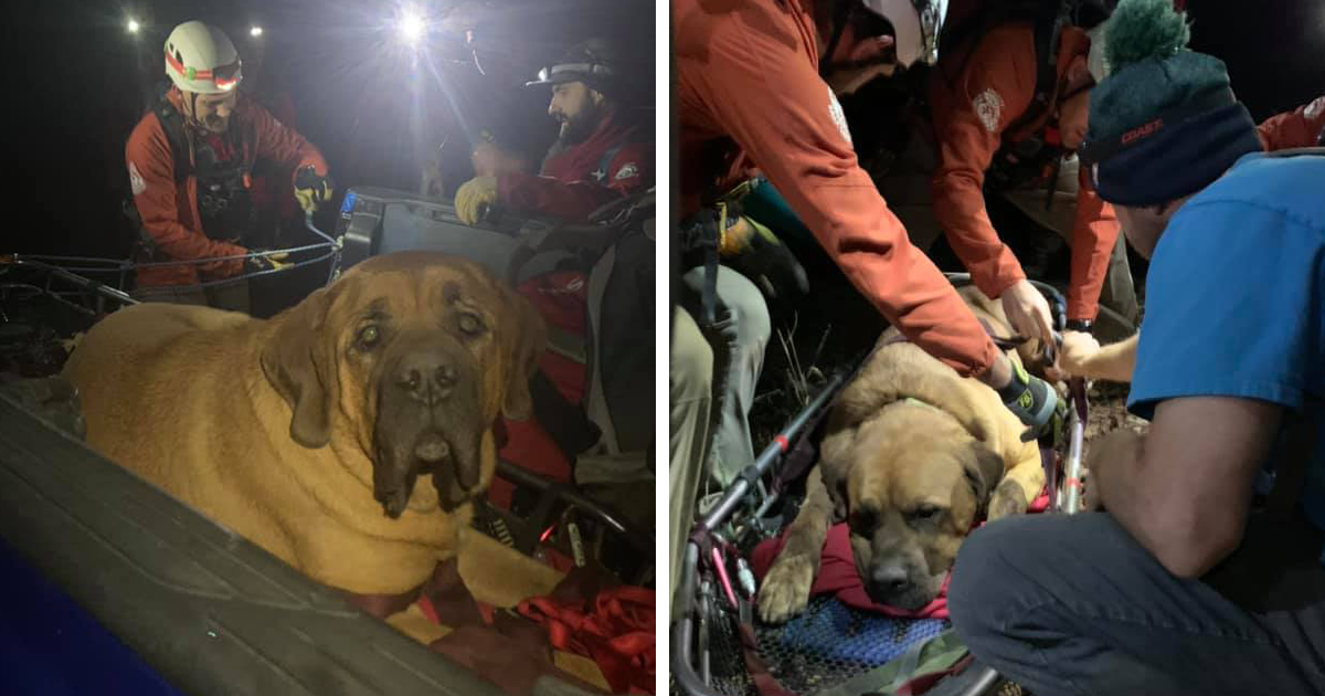 Floyd The Majestic 190-Pound Mastiff Ran Out Of Steam And Had To Be Rescued From A Mountain