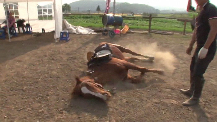 Dramatic Horse Pretends To Be Dead Whenever People Try To Ride Him