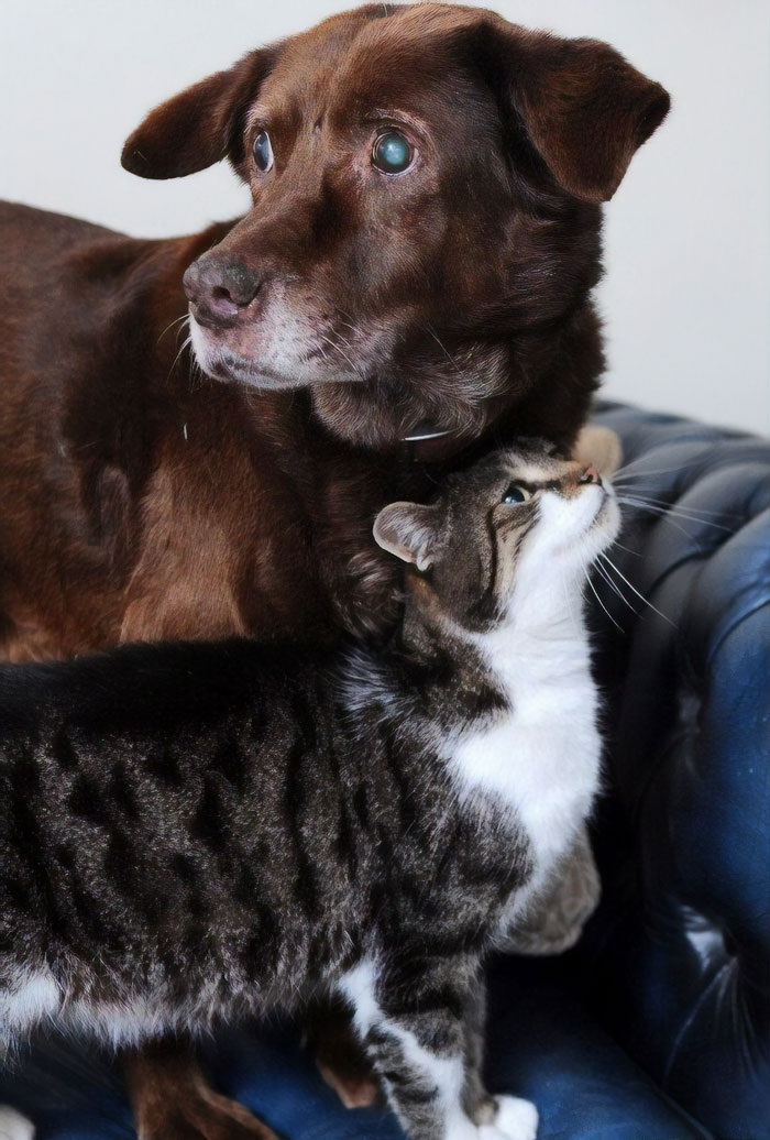 Pwditat, The Seeing-Eye Cat For His Blind Labrador Retriever Friend, Tervel