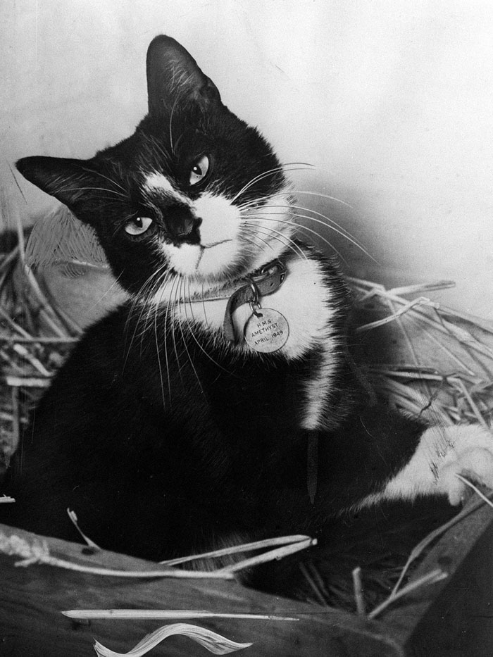 Simon, The Cat Who Served As An Exterminator And Motivator On HMS Amethyst
