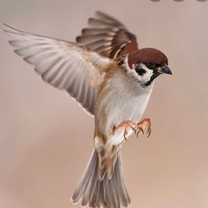 Sparrow Flying Free