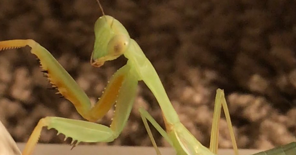 This Sophisticated Pet Mantis Has An Instagram Account And Her Followers Love Watching Her Testing Out Miniatu