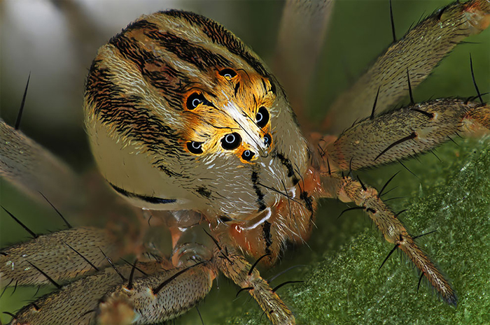 Female Oxyopes Dumonti (Lynx) Spider
