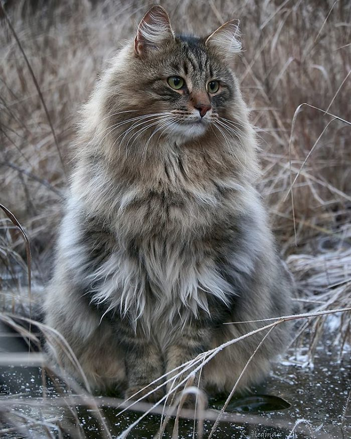 Norwegian-Forest-Cats-Sampy-Hiskias