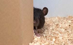 Scientists Taught Rats How To Play Hide And Seek And Found Out They Actually Really Enjoy Playing
