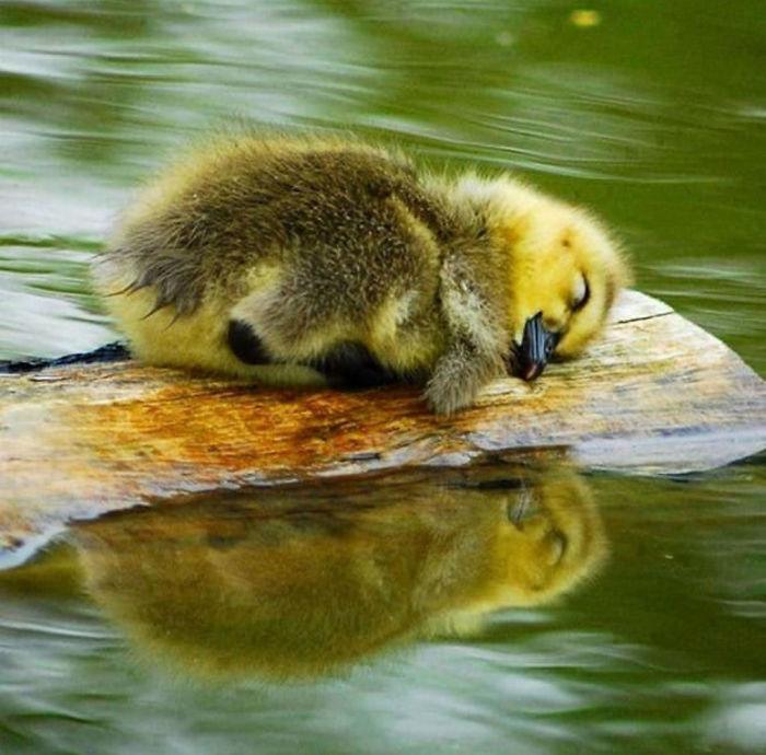 Красивые и забавные фото уток