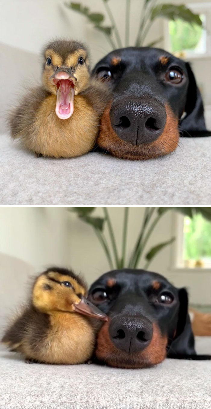 Wholesome-Cute-Duck-Pics