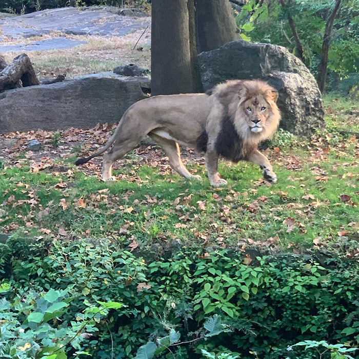 Woman Climbs Into A Lion Enclosure In A Bold Display Of Stupidity
