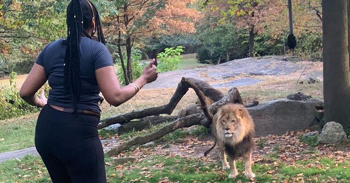 Woman Climbs Into Lion Exhibit At Bronx Zoo And Taunts The Lion