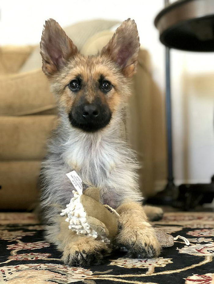 This 2-Year-Old German Shepherd With Dwarfism Will Always Look Like A Tiny Puppy